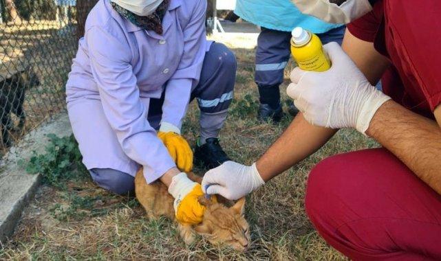 Villa kedileri parazitlere karşı ilaçlandı